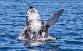 Can whales learn deafness?