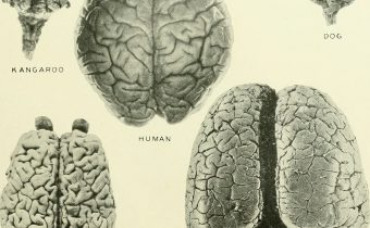Evolution through brain asymmetry