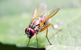 Fruit fly studies reveal brains continue to grow in adulthood